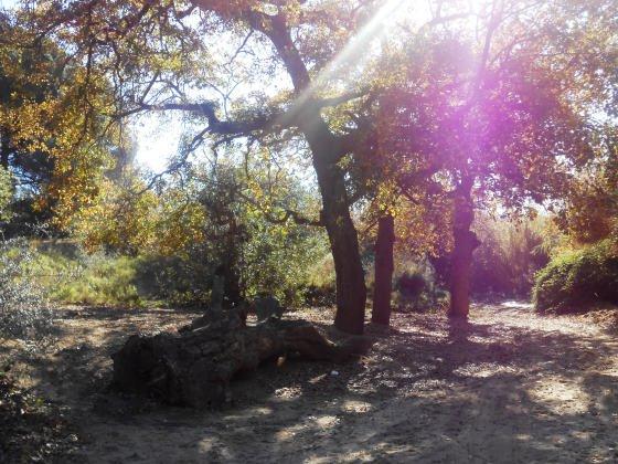 Avui, l'arbre centenari es sols un gran tronc situat al terra a prop de la Font, testimoni d'un passat. !
